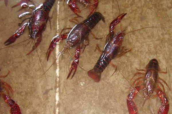 哪里的小龙虾出名?小龙虾养殖前景分析