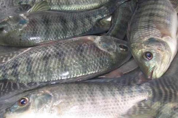 罗非鱼产地在哪?罗非鱼有哪些品种?