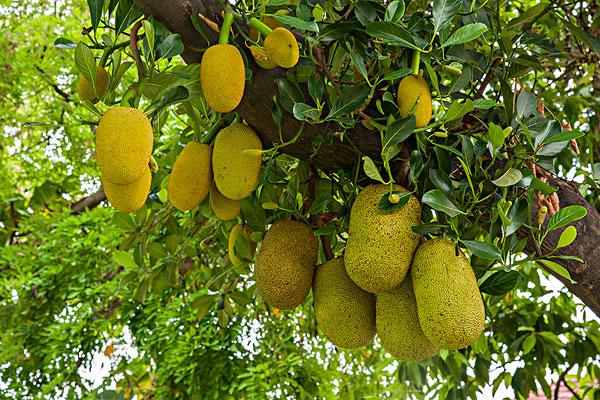 菠萝蜜什么时候成熟上市?怎么挑选催熟?