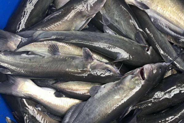 清江鱼产地在哪里?有哪些主要品种?