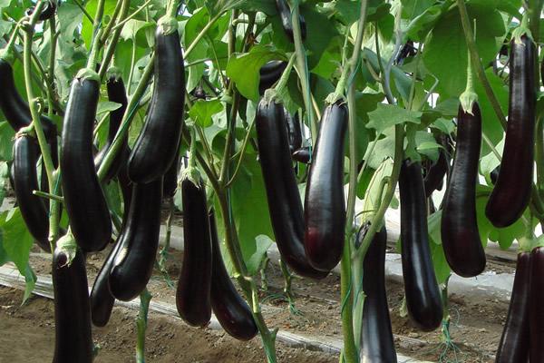 茄子的原产地在哪?长茄子与圆茄子有何区别?