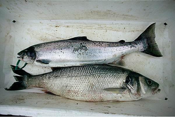 鲈鱼和海鲈鱼的区别有哪些?