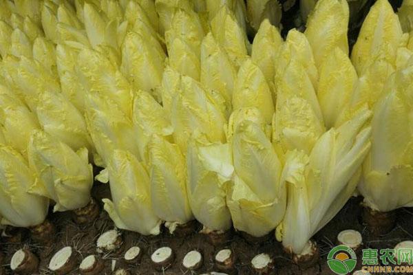 芽球菊苣在家种植的方法技术