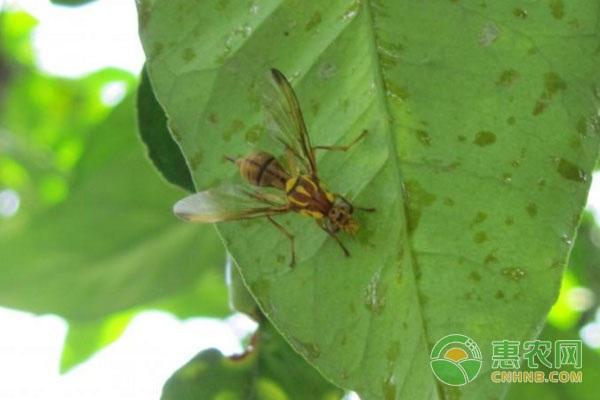 果实蝇的防控方法