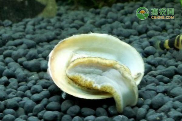 鲍鱼螺产地在哪?哪个部位不能吃?