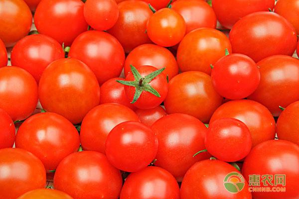 小番茄种苗哪里有卖?