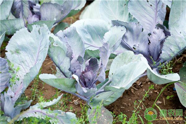 蔬菜菜青虫的危害症状及防治方法