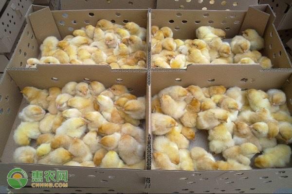 如何养殖鸡苗成活率高?