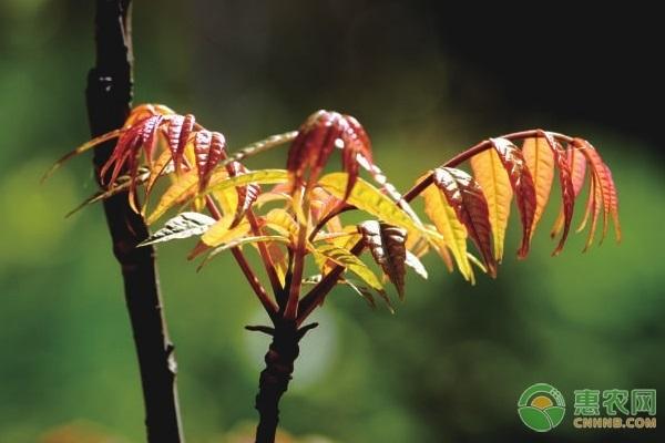 红油香椿和绿油香椿有什么区别?