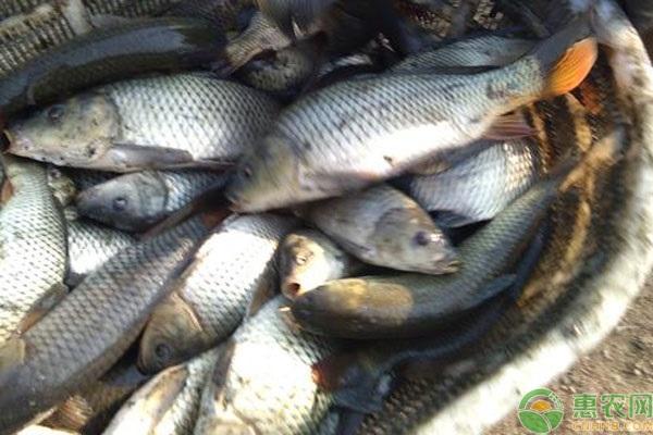 水库鲤鱼喜欢在什么地方活动?