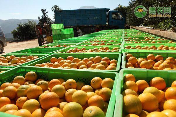 橙子如何区分公母?