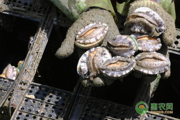 鲍鱼的种类分布有哪些?