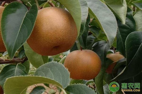 圆黄梨产地在哪里?