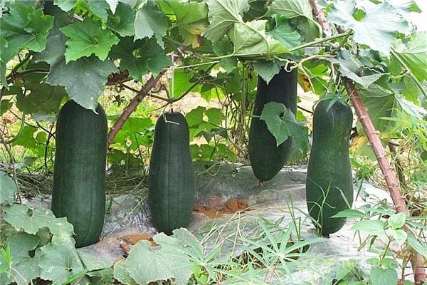 冬瓜属于短日照作物,每天需要多长时间的日照?