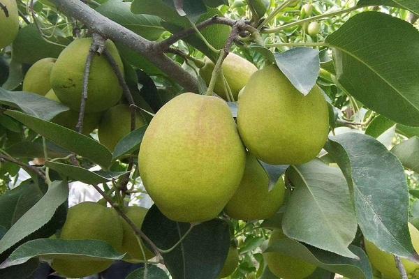 中國十大名梨分別是哪十種?