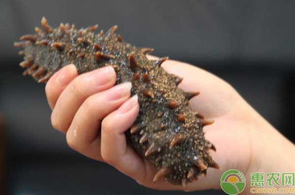 底播参和养殖海参有什么区别?