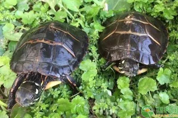 东锦乌龟产地是在哪里?