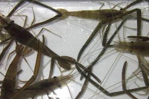 草蝦苗產地在哪?草蝦和日本對蝦有什么區別?