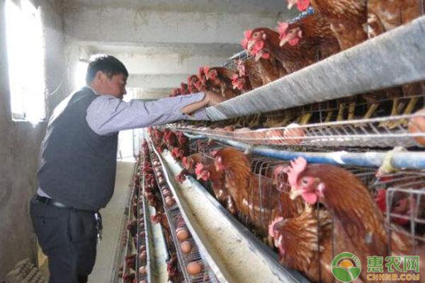 正常健康的蛋鸡,粪便会是什么样的呢?