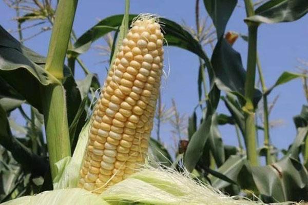 甜玉米哪個品種口感最好?