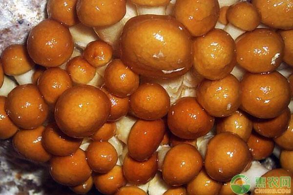 滑子菇和茶树菇有什么区别?