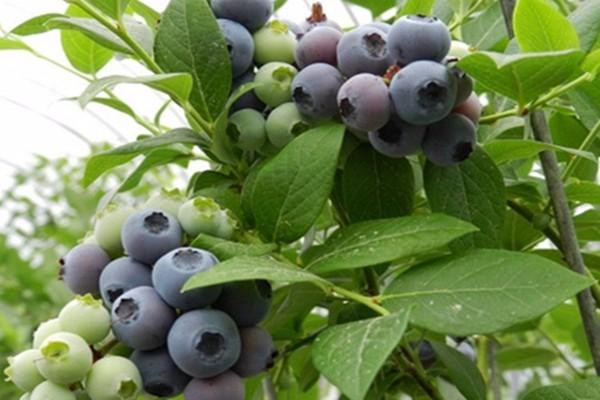 南方什么時候栽種藍莓?