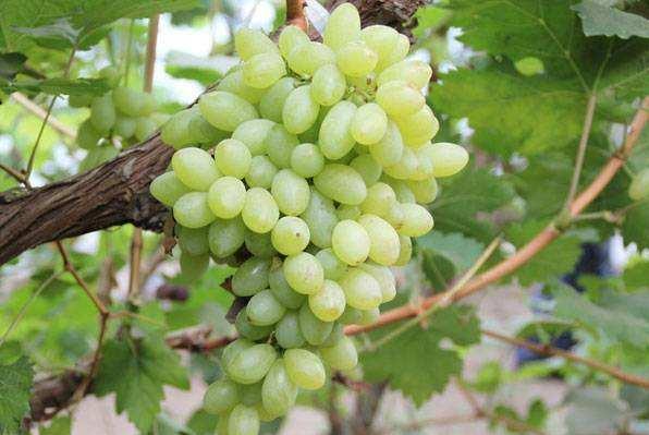盤點甜度高的葡萄品種有哪些?