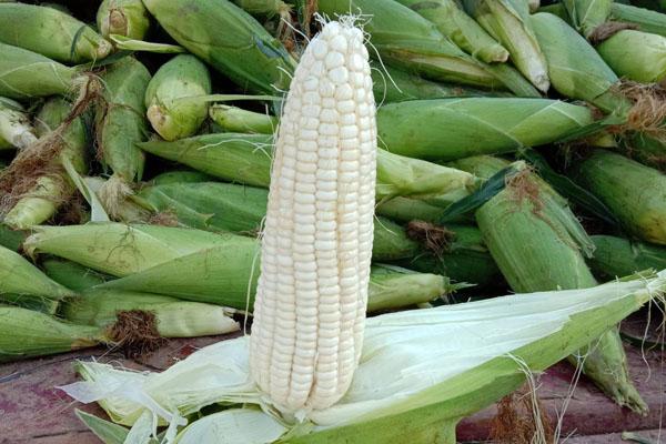 最好的糯玉米品種排名