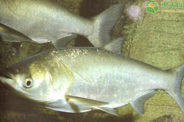 大头鱼鱼苗哪里有卖?