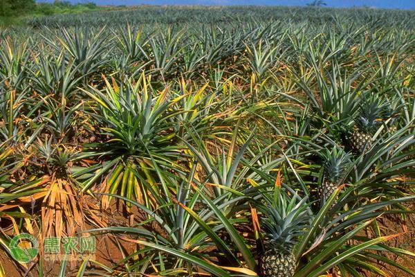凤梨和菠萝的区别是什么?