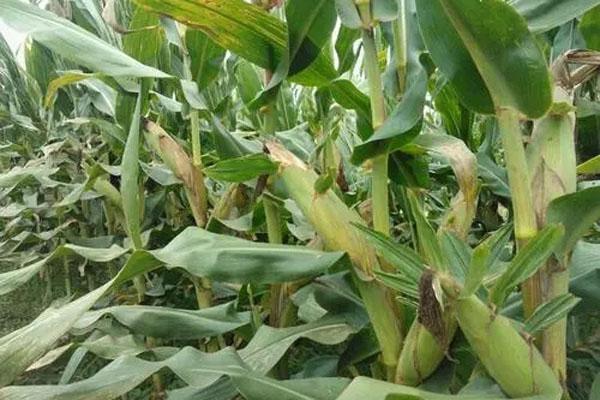 矮桿高產的玉米品種有哪些?