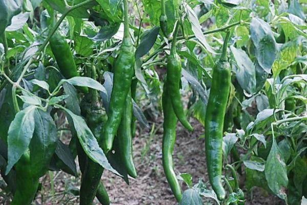 盤點青椒品種有哪些?