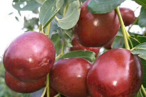 制干棗品種有哪些?