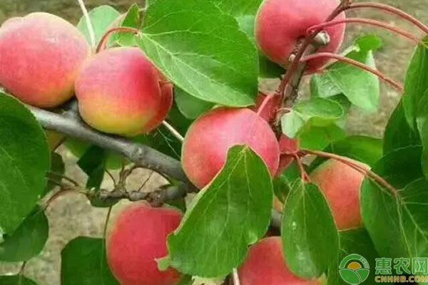太平红杏产地在什么地方?