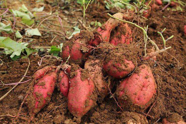 紅肉紅薯品種有哪些?