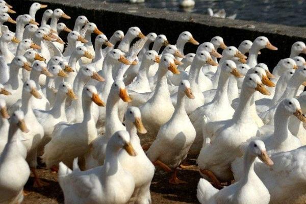 中國出名的鴨子產地有哪些?