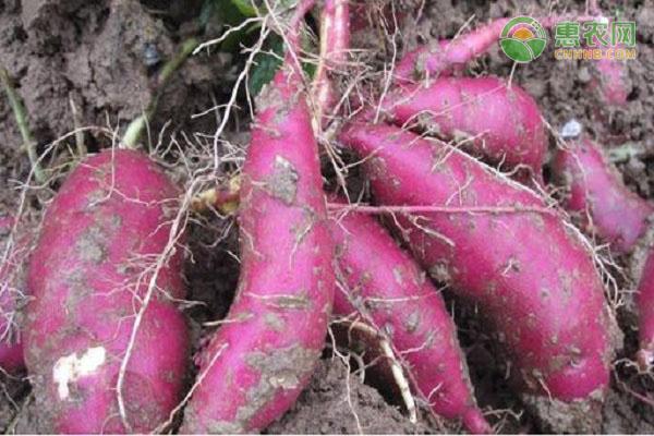紫薯什么时候成熟上市?