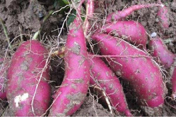 紫薯的優良品種有哪些?