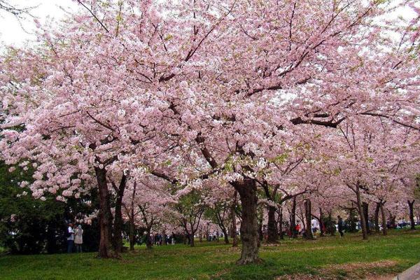 櫻花的原產地在哪?櫻花哪個品種的好看?