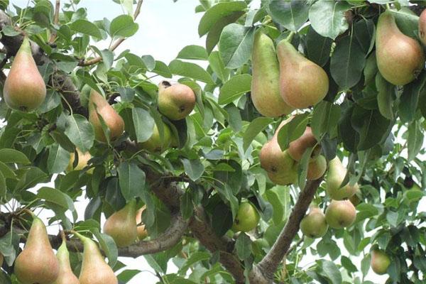 香梨品種有哪些?哪個品種好吃?