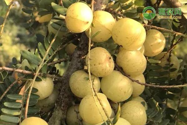 油柑的种植管理技术