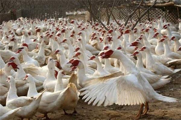 番鴨產地在哪?番鴨和家鴨有什么區別?