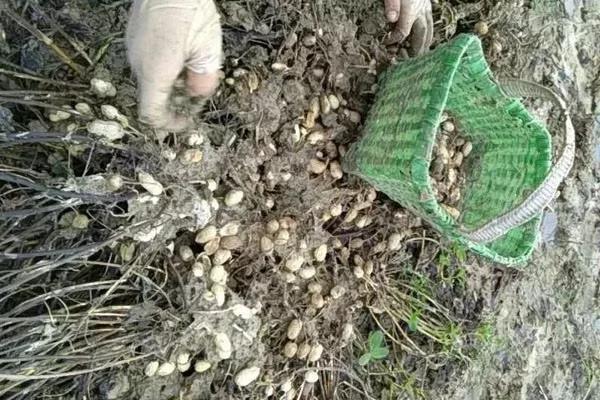 花生帶殼播種,到底能不能大幅減少花生上的病蟲害?