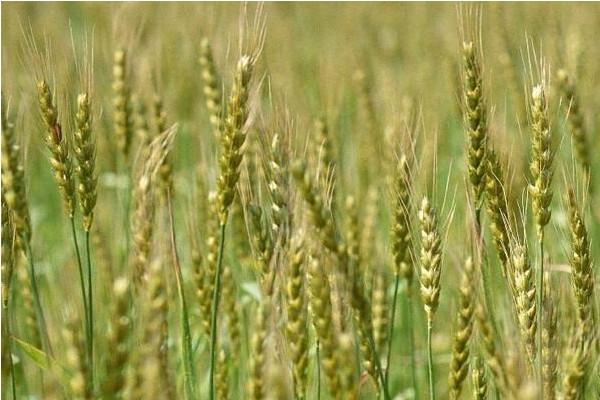 小麥高產品種有哪些?