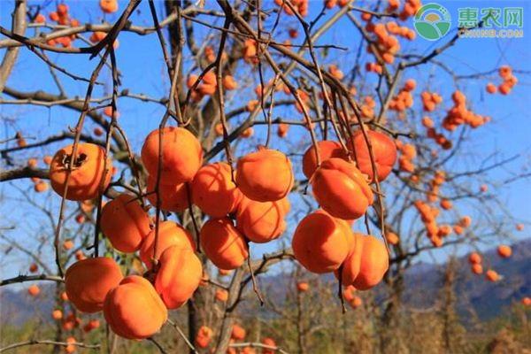 新鲜柿子怎么催熟?