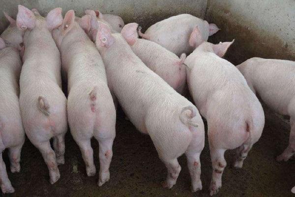 仔豬的價格多少錢一斤?仔豬要怎么挑選健康的?