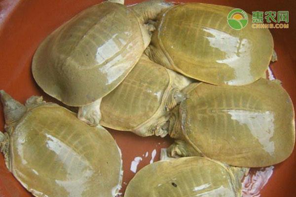黄沙鳖苗价格多少钱一只?