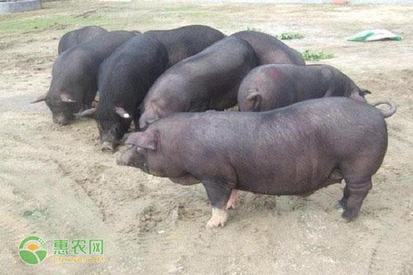 杜洛克猪有何优缺点?