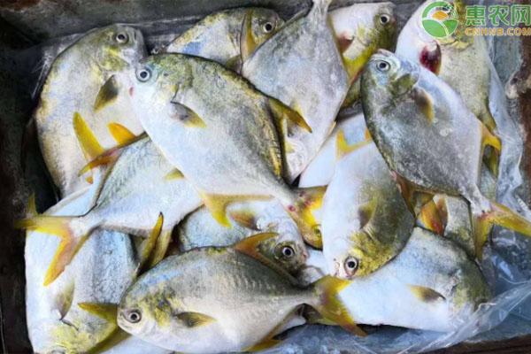 金鲳鱼是海鱼还是淡水鱼?