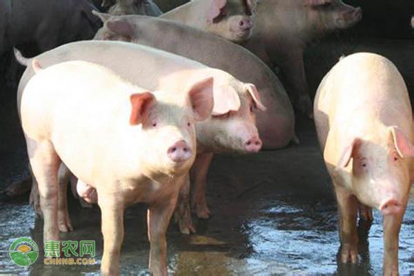 二元猪和三元猪有哪些区别?